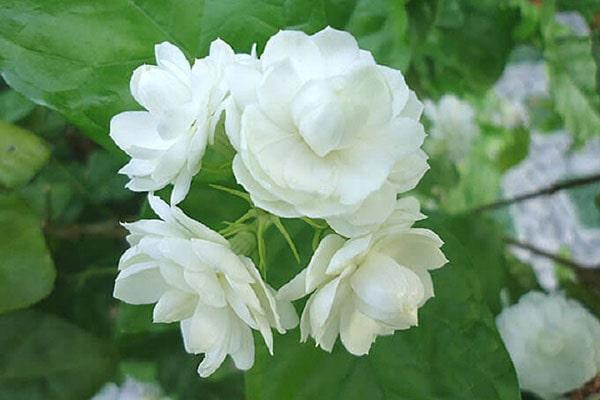 Loài hoa xinh đẹp này còn phảng phất mừi hương dễ chịu
