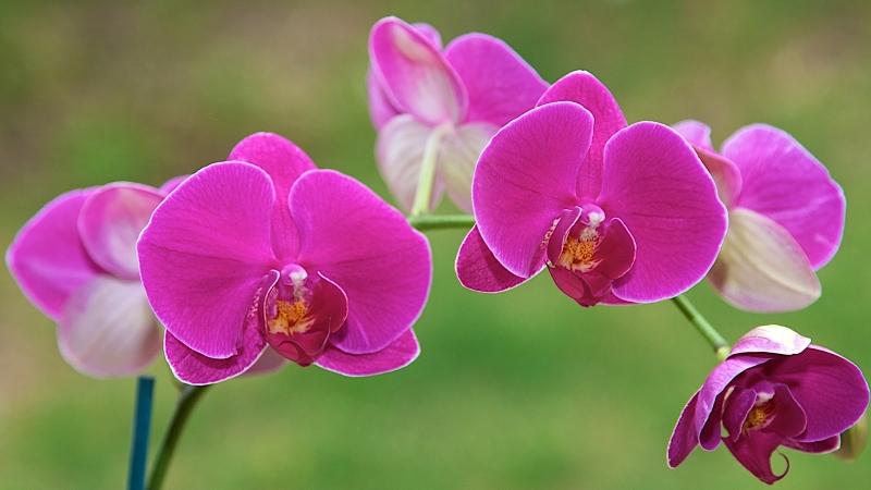 Hoa lan tím