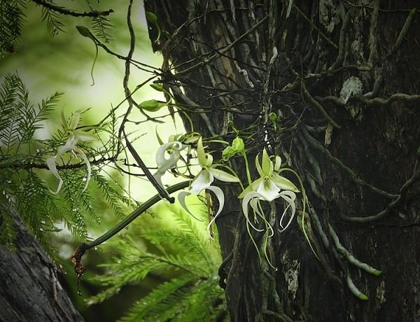 Hoa lan ma