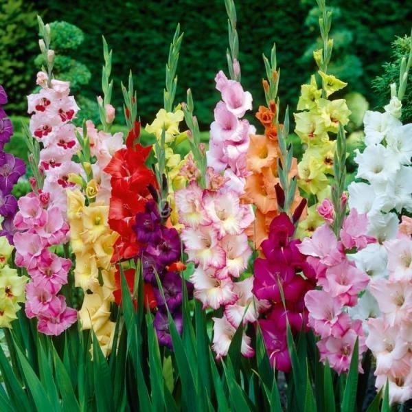 Những bông lay ơn sắc màu.