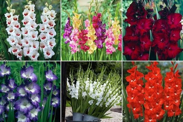 Là loài hoa được nhiều người ưa chuộng vào các dịp lễ Tết và có thời gian tươi lâu hơn các loài hoa khác.