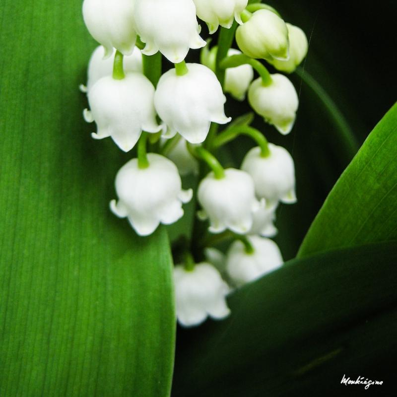Hoa linh lan