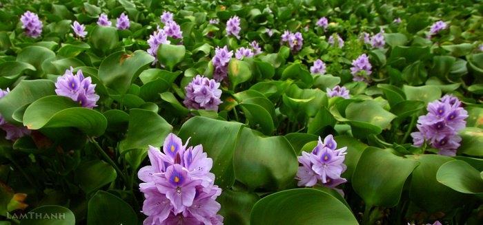 Sắc tím thủy chung của hoa lục bình