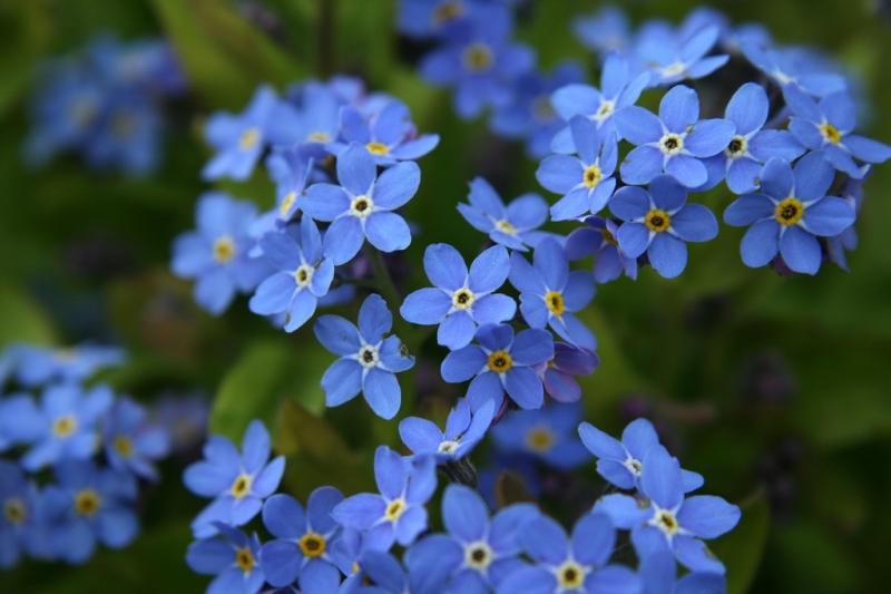 Hoa lưu ly với sắc xanh đặc trưng