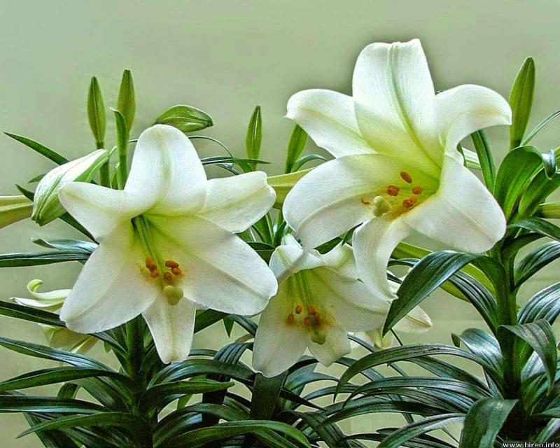 Hoa ly có mùi hương hấp dẫn, quyến rũ bất cứ ai.