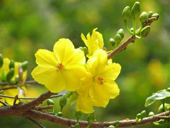 Loài hoa đẹp nhất trong dịp Tết mang đến lộc đầu xuân và những điều tốt đẹp nhất tới gia chủ.