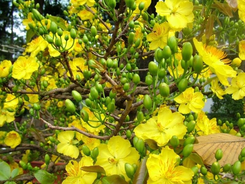 Hoa mai là loại hoa đặc trưng rất quen thuộc của miền Nam