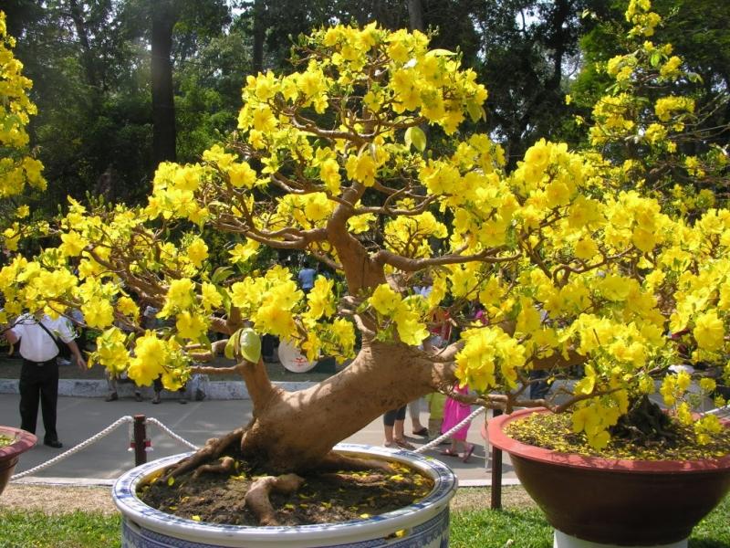 Hoa mai nở rộ báo hiệu mùa xuân đang về