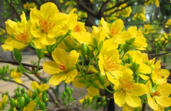 Dân gian còn cho rằng nếu hoa mai nở càng nhiều cánh thì tài lộc sẽ càng nhiều