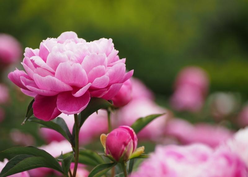 Hoa mẫu đơn với vẻ đẹp sang trọng, thanh khiết