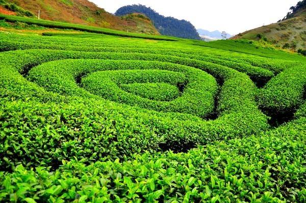 Hòa mình giữa trang trại trà đen lớn nhất Malaysia BOH Plantation