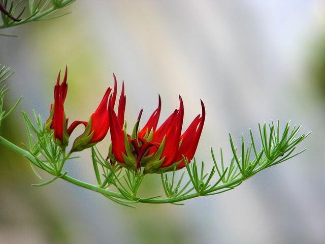 Hoa mỏ vẹt