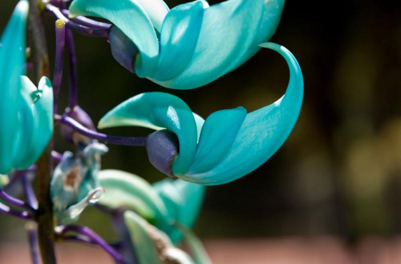 Móng cọp xanh là một loài hoa quý hiếm thuộc họ nhà Đậu