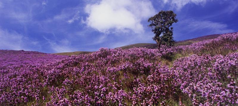 Hoa Neelakurinji là biểu tượng của tình yêu và sự lãng mạn.