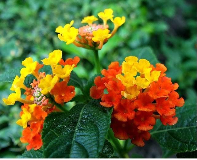 Hoa ngũ sắc (cây tỉ muội)