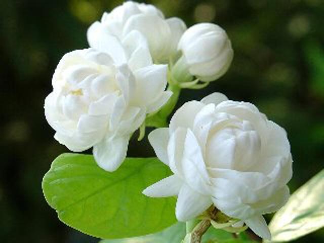 Hoa nhài - loài hoa của vẻ đẹp thuần khiết