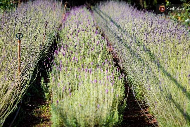 Cánh đồng hoa oải hương tại Đà Lạt.