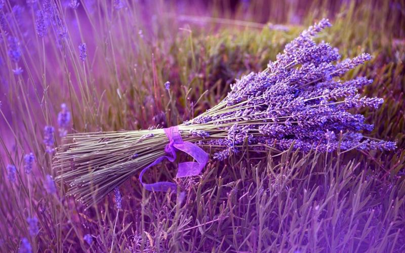 Oải hương tím lãng mạn, loài hoa nổi tiếng của nước Pháp xinh đẹp