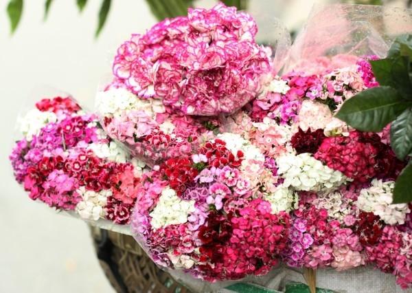 Hoa Phăng nhiều màu sắc
