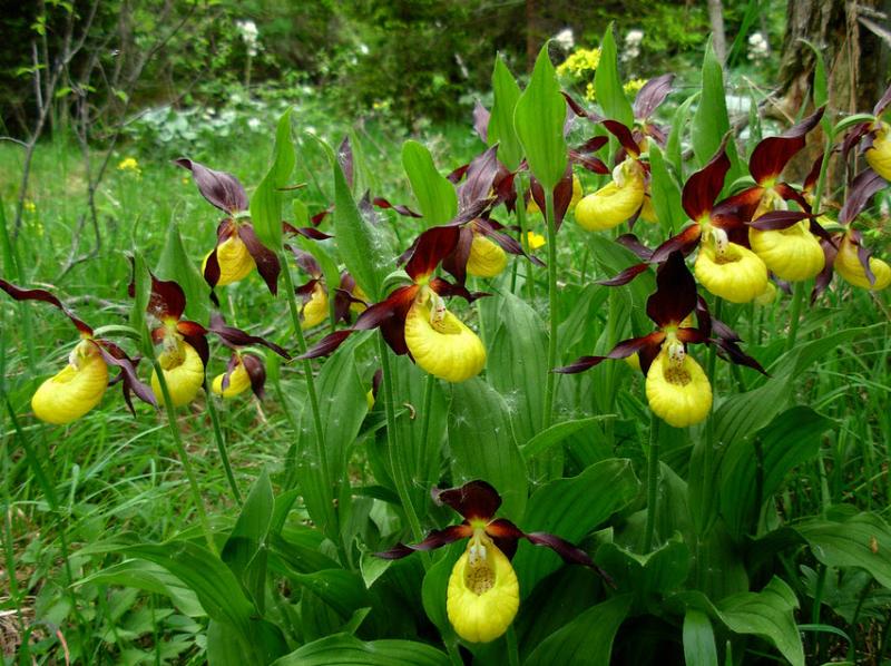 Hoa phong lan tím vàng