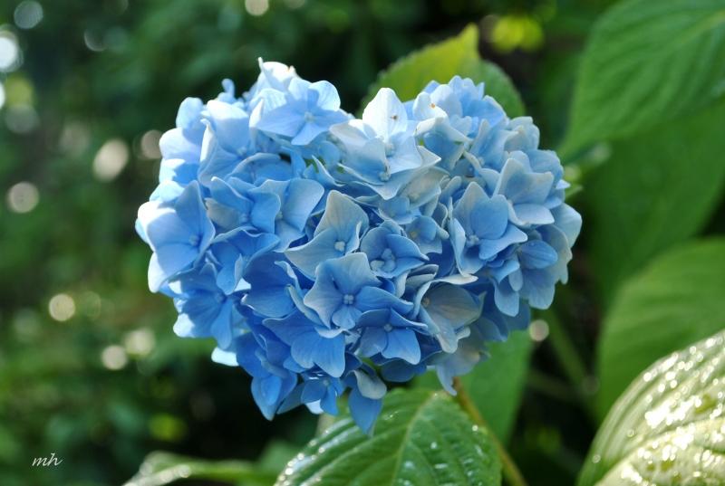 Hoa phong thủy cho ngày Tết: Cẩm tú cầu (Bát tiên) - mang ý nghĩa hạnh phúc và viên mãn cho người thân.