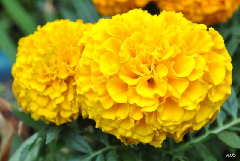 Hoa phong thủy cho ngày Tết: Vạn thọ - báo hiệu cho một mùa xuân bình an hạnh phúc.
