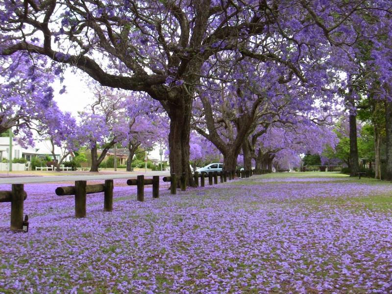 Khung cảnh lãng mạn tràn đầy sắc tím của hoa phượng
