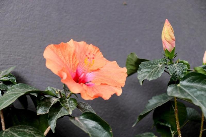 hoa Dâm Bụt