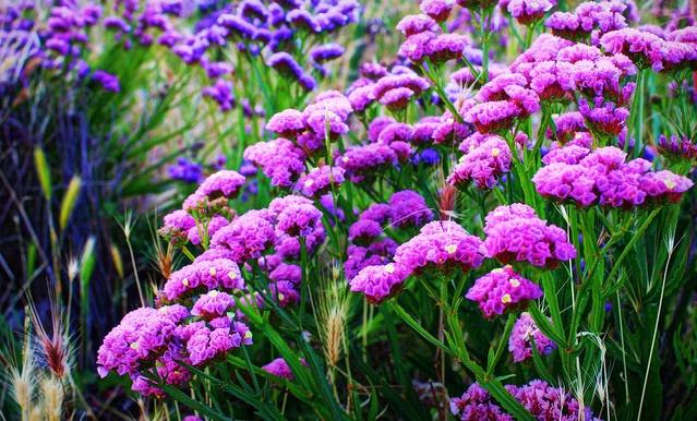 Hoa salem tím là biểu tượng của tình yêu cao thượng