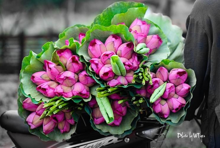 Những đóa hoa sen được hái từ Hồ Tây, Hà Nội.