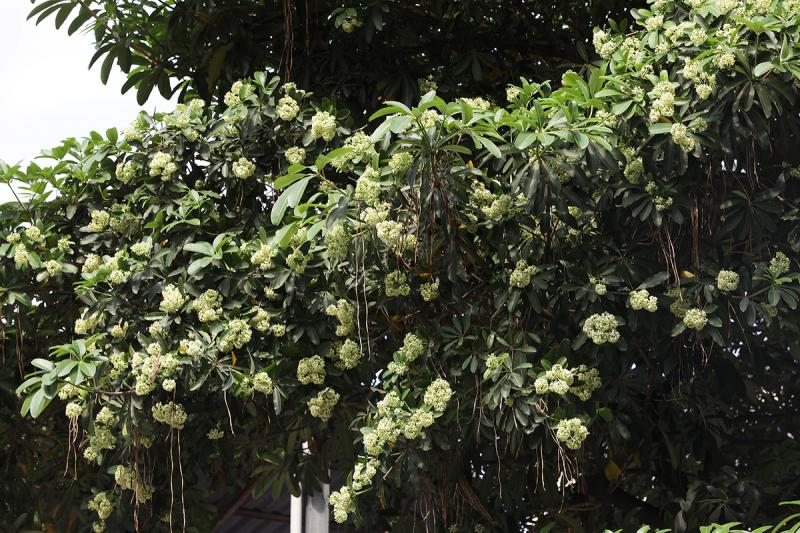 Hoa sữa đường phố Hà Nội