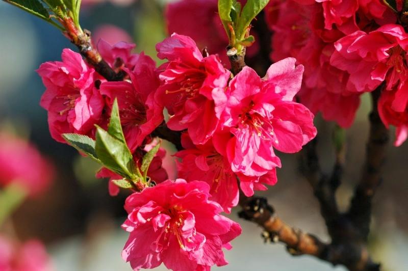 Hoa đào hồng rực như món ăn tinh thần không thể thiếu của người dân miền Bắc trong dịp Tết