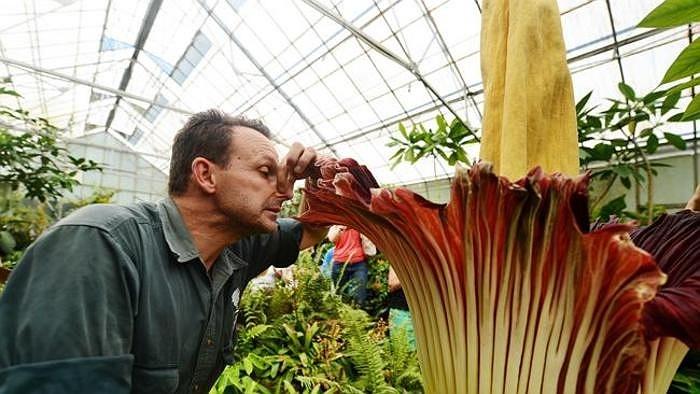 Loài hoa được mệnh danh là thối nhất thế giới có tên khoa học là Amorphophallus titanium