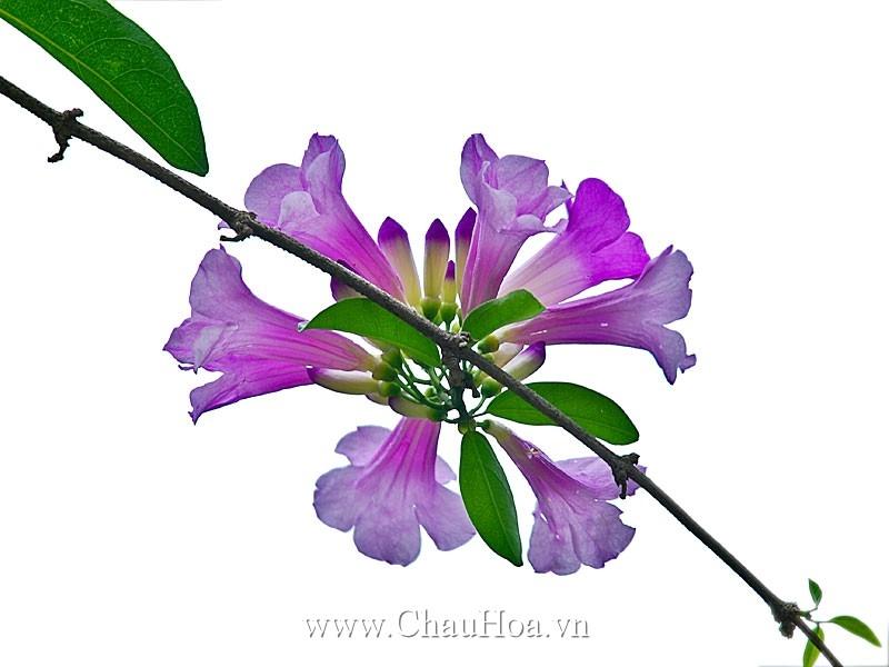 Hoa thường xuân