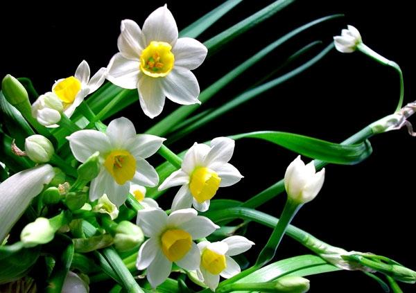 Sắc hoa thủy tiên nhẹ nhàng, thanh khiết