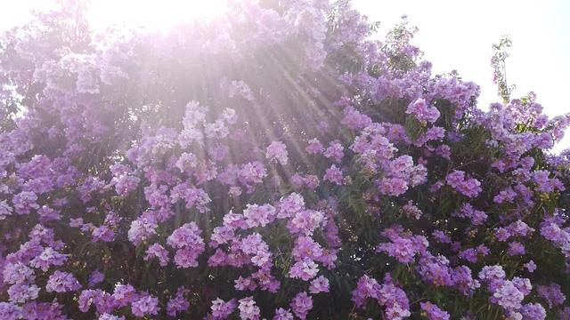Hoa tím bằng lăng