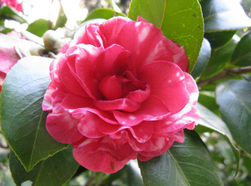 Hoa trà Middlemist đỏ là loài hoa hiếm thuộc hàng bậc nhất thế giới