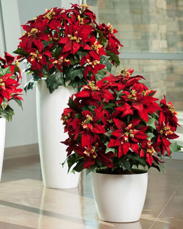 Cây hoa trạng nguyên được lựa chọn làm món quà ý nghĩa đối với người thân, bạn bè trong các dịp lễ tết