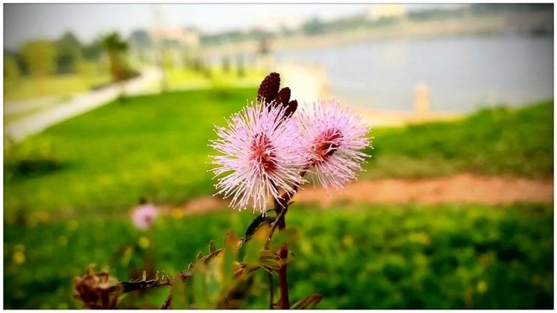 Hoa Trinh Nữ đẹp mặn mà