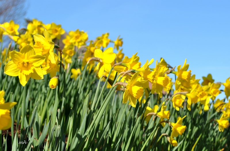 Hoa thủy tiên - Narcissus