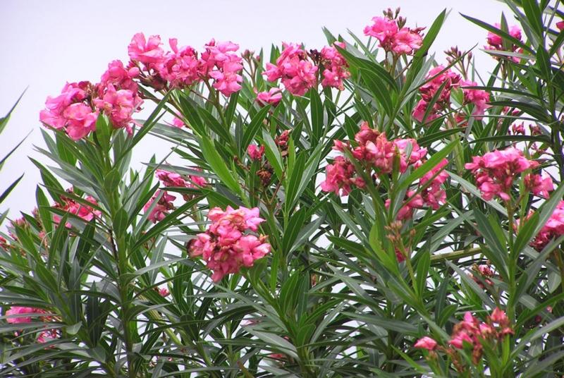 Hoa Trúc đào