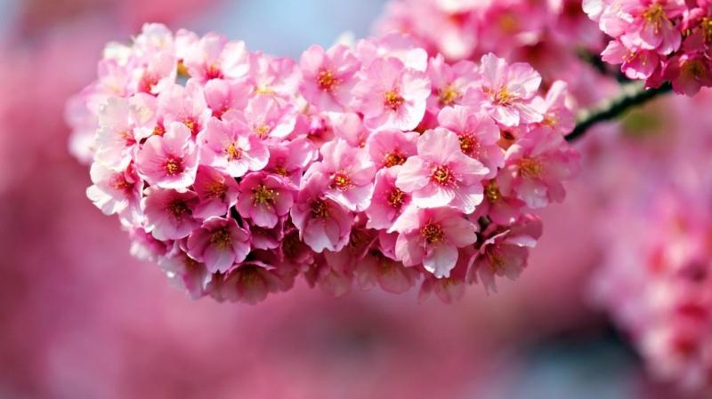 Hoa đỗ quyên – Rhododendron