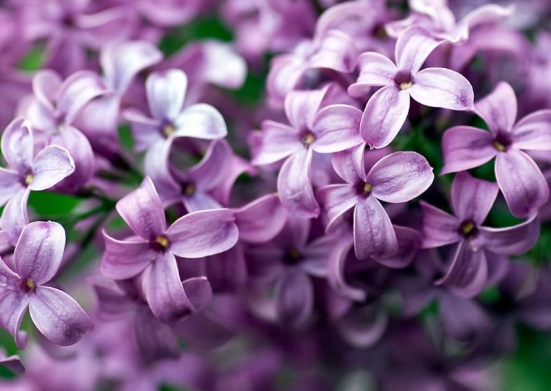 Hoa tử đinh hương với sắc tím thanh khiết
