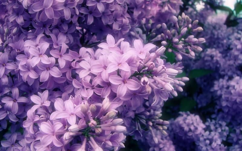 Đẹp dịu dàng như hoa tử đinh hương