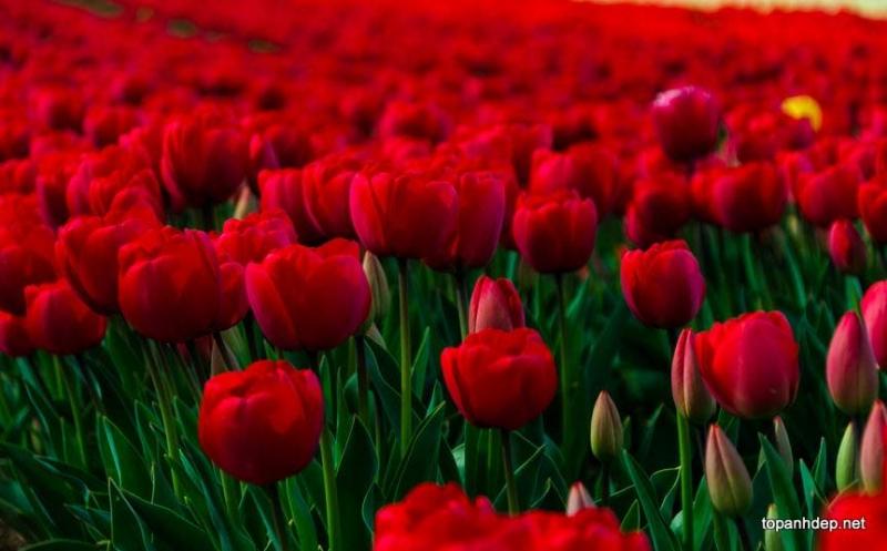Cánh đồng hoa tulip đỏ