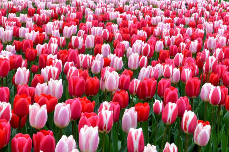 Top 20 Loài hoa đẹp nhất thế giới