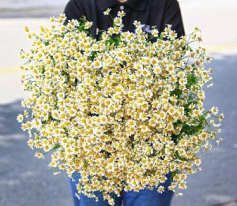 Cúc Tana - loài hoa biểu tượng cho sự trong trắng, tinh khôi