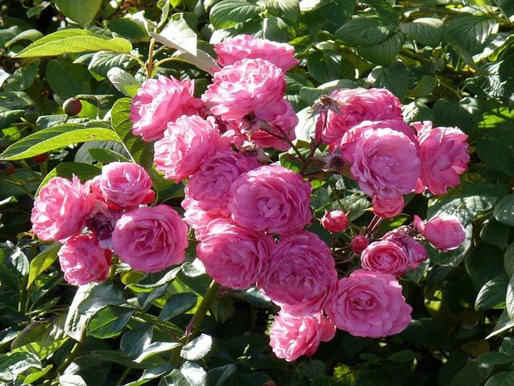 Hoa tường vi hồng