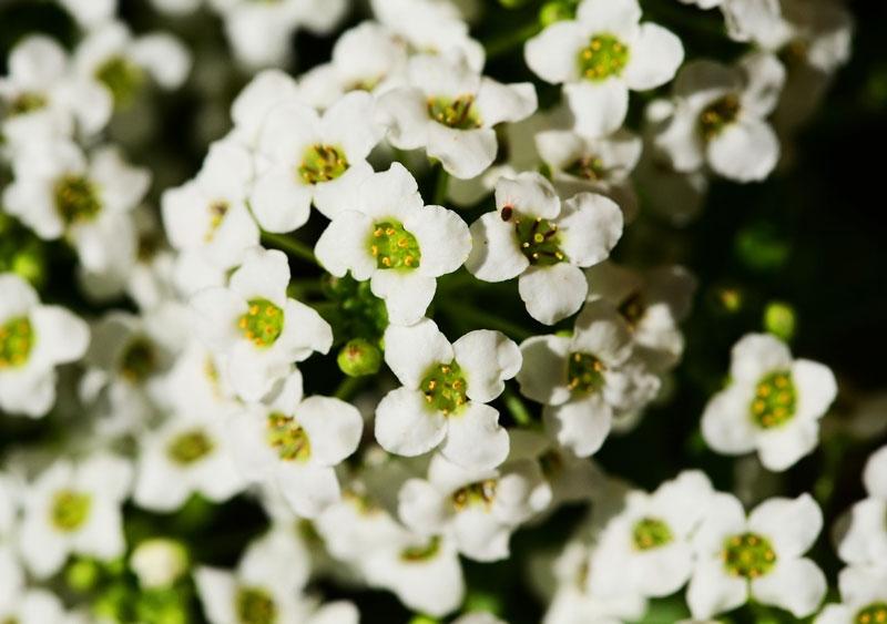 Hoa tuyết cầu