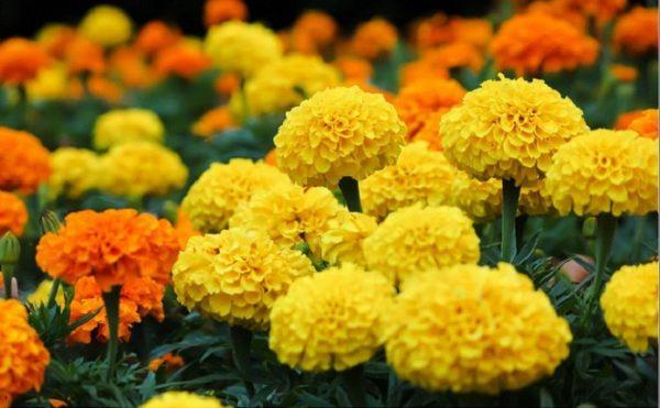 Hoa vạn thọ là loài hoa có vẻ đẹp rất giản dị